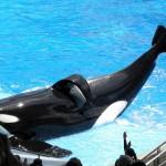 Tilikum, baleia orca do Seaworld, está morrendo