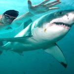 Phelps perde corrida contra tubarão branco