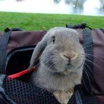 Justiça autoriza viagem de coelhos para a Suécia na cabine do avião
