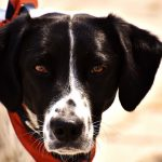 Você sabia que seu cãozinho pode doar sangue?