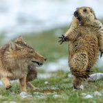 Foto premiada registra momento único entre raposa e marmota nas montanhas do Tibet