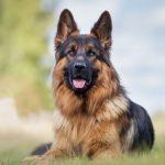 Pastor alemão é o primeiro diagnóstico oficial de cachorro com coronavírus nos EUA